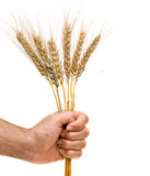 Farmer presnting bunch of wheat as a gift Stock Image