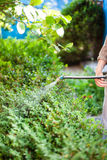 Farmer processing bushes by pesticide on backyard. Farmer processing bushes by pesticide against pests at backyard in summer evening Stock Photo