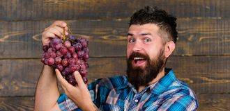 Farmer proud of harvest grapes. Man bearded happy smile holds grapes wooden background. Organic harvest. Farming and royalty free stock images