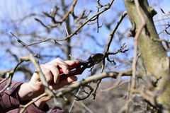 Farmer pruning apple tree in orchard Royalty Free Stock Photo
