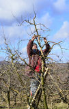 Farmer pruning apple tree Royalty Free Stock Photo
