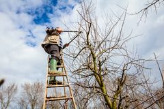 Farmer is pruning branches of fruit trees in orchard using long. Gardener is climbed on ladders and he cutting branches, pruning fruit trees with long shears in Royalty Free Stock Images
