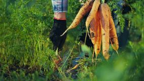 The farmer pulls out a juicy carrot in the garden. Organic farm products