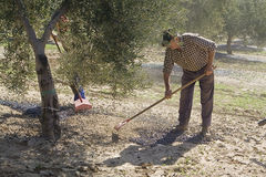 Farmer with a rake picking olives from the ground Stock Photos