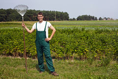 Farmer with rake in raspberry field Stock Photo