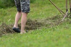 Farmer raking hay by rakes on meadow traditional. Farmer use traditional rakes to rake hay on meadow stock photography