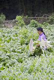 A farmer reaps kale from the season plantation Stock Photo