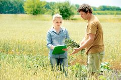 Farmer and researcher analysing wheat field plant. The Farmer and researcher analysing wheat field plant stock images