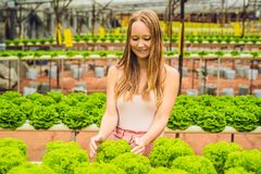 Farmer researching plant in hydroponic salad farm. Agriculture and scientist concept.  stock photo