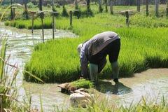 Farmer Rice. Geens Planting Stock Photo