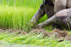 Farmer Rice farming, closeup, motion blur, thailand Royalty Free Stock Photography