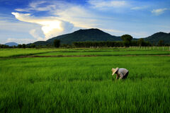 Farmer in the rice field. A farmer work in the rice field with the mountain and beautiful sky behind Royalty Free Stock Images