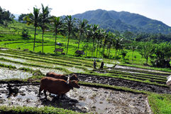 Farmer in the rice field. Balinese farmer working in the rice field with his cows Royalty Free Stock Photos