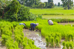 Farmer in rice field. Thailand Stock Photo