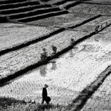 Farmer on the rice field. Black-white photo.  Royalty Free Stock Images
