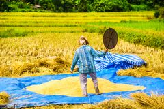 Farmer on rice field by Chiang Rai in Thailand. View on farmer on rice field by Chiang Rai in Thailand Stock Images