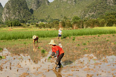 Farmer in rice field of China. Farmers working in wet rice field in China, Yangshou Royalty Free Stock Photo