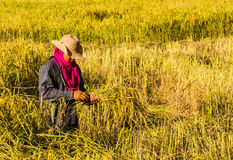 Farmer in the rice field. Farmer harvesting rice in the field  by original style Royalty Free Stock Photos