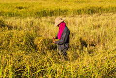 Farmer in the rice field. Farmer harvesting rice in the field  by original style Royalty Free Stock Photo