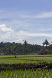 Farmer in a rice field. Farmer in a paddy field with bright blue sky in a vertical format picture stock photos