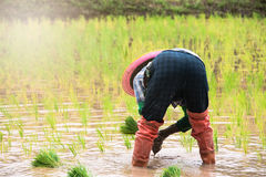 Farmer in the rice field. Planting the rice Stock Photography