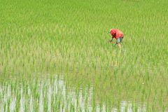 Farmer in the rice field in pua province in nan. Thailand Royalty Free Stock Images