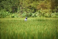 Farmer Rice field. Farmer in the rice field in thailand Royalty Free Stock Photography