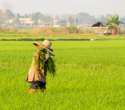 Farmer in rice field thailand. Farmer in rice field at thailand Royalty Free Stock Photography
