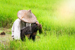 Farmer in the rice field. Thailand Stock Photography