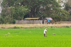 Farmer with rice field in Thailand Royalty Free Stock Photos