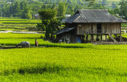 A Farmer on Rice field in Vietnam Stock Images