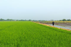 Farmer in the rice field. A farmer walking in the rice field Stock Image