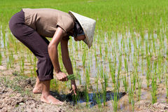Farmer on the rice field. Young Asian farmer in the rice field Stock Photo