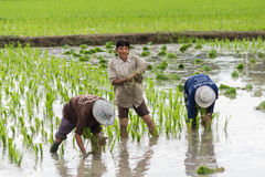 Farmer ricefield Stock Photography