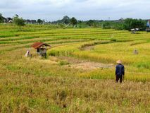 Farmer in ricefield Royalty Free Stock Photos