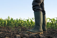 Farmer in rubber boots standing in corn field. Farmer in rubber boots standing in the field of cultivated corn maize crops Stock Photo
