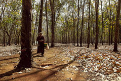 Farmer in rubber plantation forest Royalty Free Stock Images