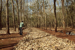 Farmer in rubber plantation forest Stock Photo