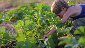 Farmer`s child helping harvesting organic vegetable marrow at field of eco farm.