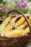 Farmer's corn cobs in a basket Royalty Free Stock Photo