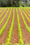 Farmer's Field Corn Oregon Agriculture Food Grower Stock Image