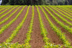 Farmer's Field Corn Oregon Agriculture Food Grower Royalty Free Stock Photo