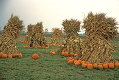 Farmer's Field of Pumpkins & Cornstalks. Grassy field filled with scattered bunches of cornstalks and pumpkins Stock Photos