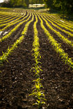 Farmer's Field with sprouts. Fresh green crops sprouting in rows in a field stock images