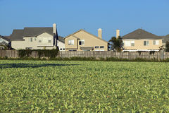 Farmer's fields with crops. By encroaching housing development subdivision in Santa Paula, CA royalty free stock photography