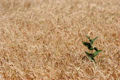 Farmer's fiend. A weed poking out of a field stock image