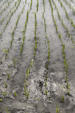 Farmer's footprint in cultivated rice field Royalty Free Stock Images