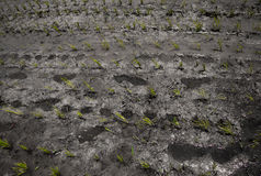 Farmer's footprint in cultivated rice field Royalty Free Stock Photography