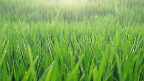 Farmer's hand in cultivated field of young green wheat stock footage