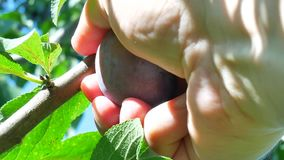 Farmer`s hand is harvesting the ripe plum in the garden stock footage